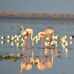 Guest Birds Flamingo at Jamnagar -Jamnagar